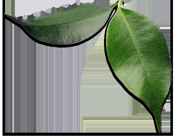 Folhas De Abacate