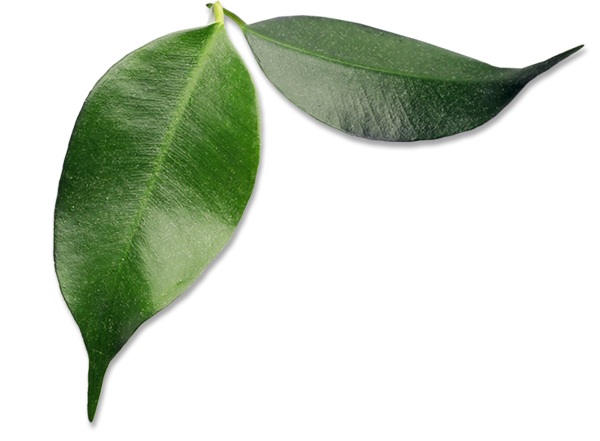 Avocado Leaves